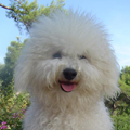 Bichon Frise Avec Attention Au Chien