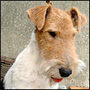 Fox Terrier poil dur