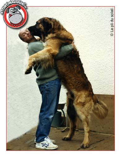 Fabuleux Leonberg avec Attention au chien ! UM66