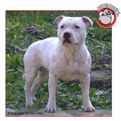 Staffordshire Bull Terrier avec Attention au chien !