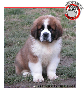 Saint Bernard avec Attention au chien