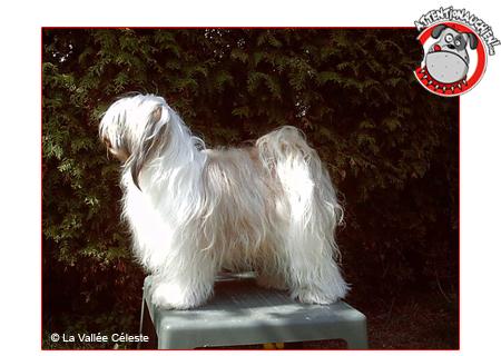 Terrier du Tibet avec Attention au chien !